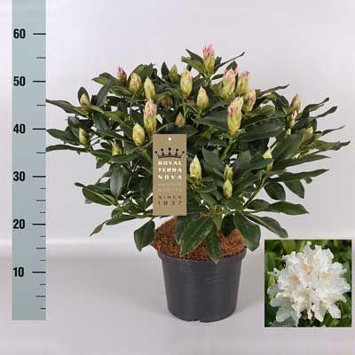 Комнатное растение - цветы Антуриум Радодендрон