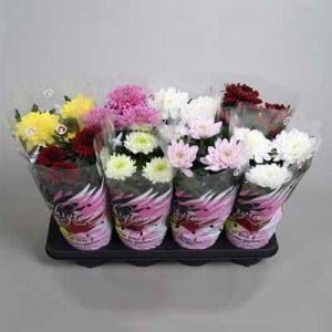 Комнатные растения - цветы Хризантема Микс