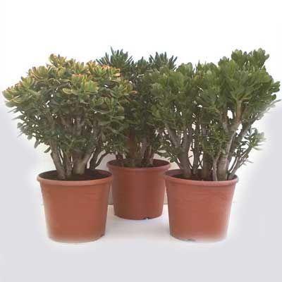 Комнатные растения - цветы Красула Микс