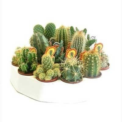 Комнатные растения - цветы Кактус