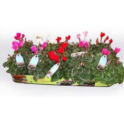 Комнатные растения - цветы Цикламен